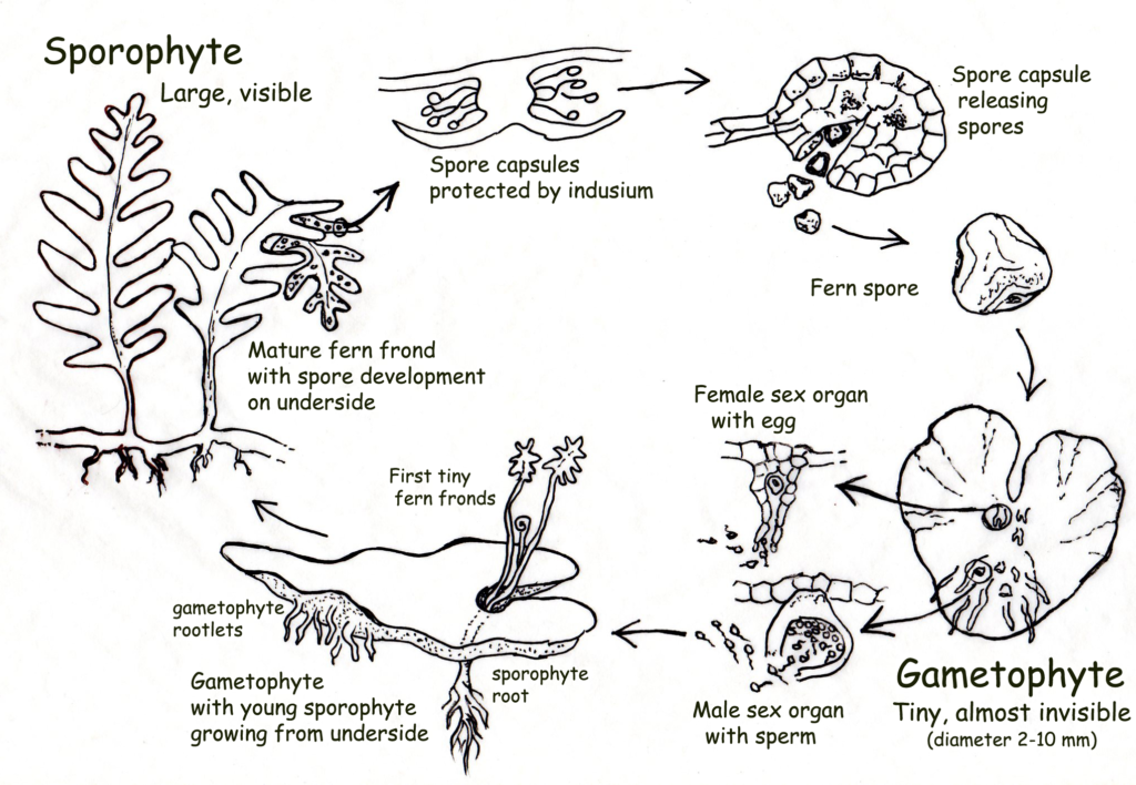 ferm life cycle Morphology, anatomy and cytology of ferns cell wall diversity and evolution.